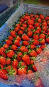 イチゴ販売開始しました